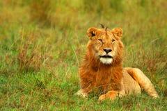 Verticale de jeune lion africain sauvage Photo stock