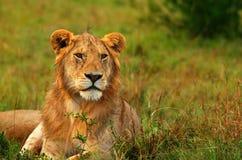 Verticale de jeune lion africain sauvage Images libres de droits
