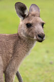 Verticale de kangourou Photo libre de droits