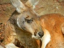 Verticale de kangourou Photographie stock libre de droits