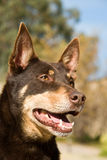 verticale de kelpie Photo stock