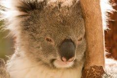 Verticale de koala photos stock