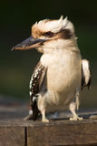 Verticale de Kookaburra Photos stock