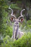 Verticale de Kudu Photos stock