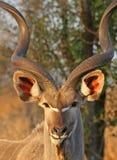 Verticale de Kudu Photographie stock libre de droits
