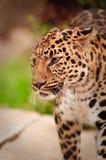 Verticale de léopard Photos libres de droits