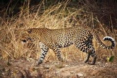 Verticale de léopard Images libres de droits