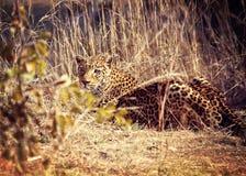 Verticale de léopard Photographie stock