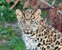 Verticale de léopard mignon Cub d'Amur de chéri Image libre de droits