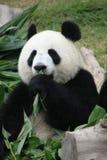 Verticale de l'ours de panda géant mangeant le bambou Photographie stock libre de droits