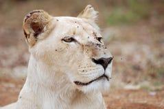 Verticale de la lionne blanche Photographie stock libre de droits