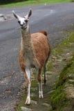 Verticale de lama Photo libre de droits
