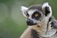 Verticale de Lemur Photo libre de droits