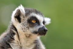 Verticale de Lemur Photos stock