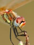 Verticale de libellule Photo libre de droits