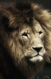 Verticale de lion Photos stock