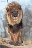 Verticale de lion Images stock