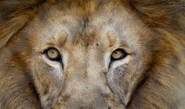Verticale de lion Photo libre de droits