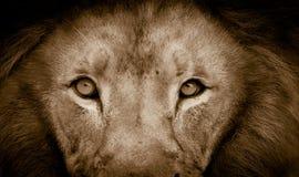Verticale de lion photographie stock libre de droits