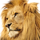 Verticale de lion Photo stock