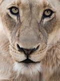Verticale de lion Photos libres de droits