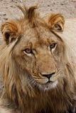 Verticale de lion Photo stock