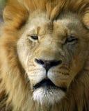 Verticale de lion image libre de droits