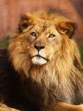 Verticale de lion africain Photos stock