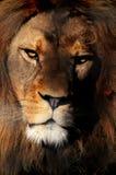 Verticale de lion de Barbarie Photographie stock