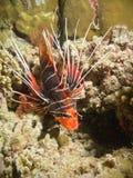 Verticale de Lionfish Photos stock