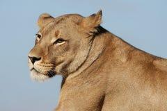 Verticale de lionne Photos stock