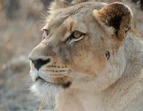 verticale de lionne Images stock