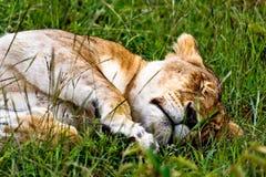 Verticale de lionne du Kenya Photographie stock libre de droits