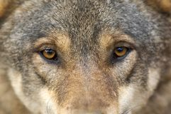 Verticale de loup Photographie stock