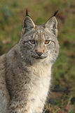 Verticale de lynx Image stock