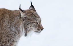 Verticale de lynx Photographie stock