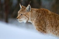 Verticale de lynx Photo libre de droits