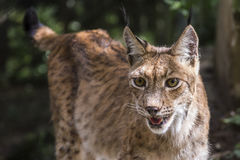 Verticale de lynx Photographie stock libre de droits