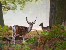 Verticale de mâle de cerfs communs affrichés en matin brumeux d'automne Photographie stock