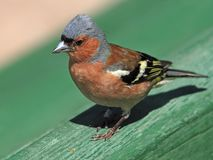 Verticale de mâle de Chaffinch Photo stock