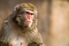 Verticale de Macaque Photographie stock