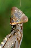 Verticale de Mantis de prière images stock