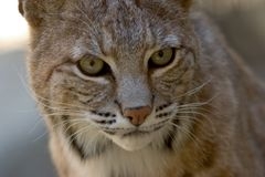 Verticale de massage facial de chat sauvage photographie stock libre de droits