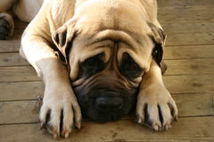 Verticale de Mastiff Photos libres de droits