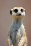 Verticale de Meercat Photo stock