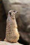 Verticale de Meerkat Images stock