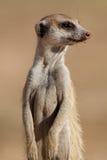 Verticale de Meerkat Photographie stock libre de droits