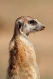 Verticale de Meerkat Photographie stock