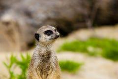 Verticale de Meerkat Image stock