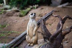 Verticale de meerkat Image libre de droits